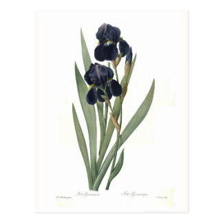 Iris germanica postcard