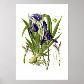 Iris germanica posters