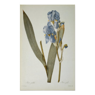 Iris Pallida, from `Les Liliacees', 1812 Poster