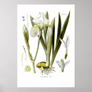 Iris pallida posters