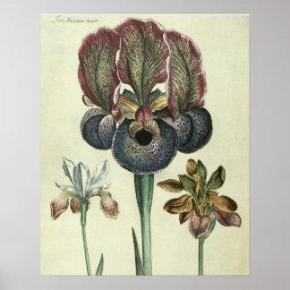 Iris susiana major and Iris bisantina angustifolia Poster