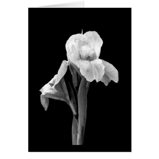 'Iris with Raindrops' Blank Note Card