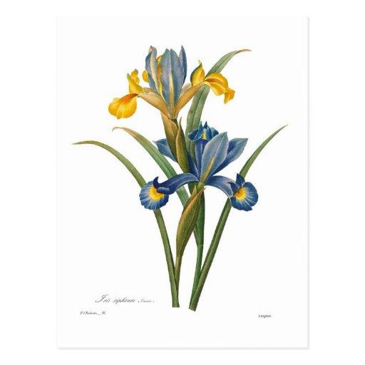 Iris xipheum post card