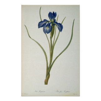 Iris Xyphioides from `Les Liliacees 1808 Poster
