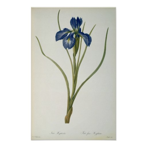 Iris Xyphioides, from `Les Liliacees', 1808 Poster