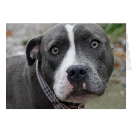 Irish Blue Staffordshire Terrier Dog Birthday Card