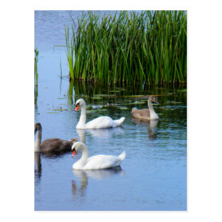 Irish ducks on the River Shannon Postcard