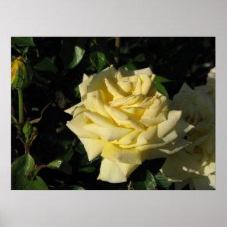 Irish Gold Hybrid Tea Rose 091 Print