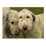 Irish Wolfhounds Post Cards