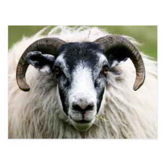 Island Sheep Postcard