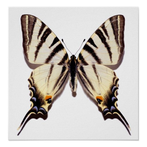 Isolated Scarce Swallowtail butterfly Posters