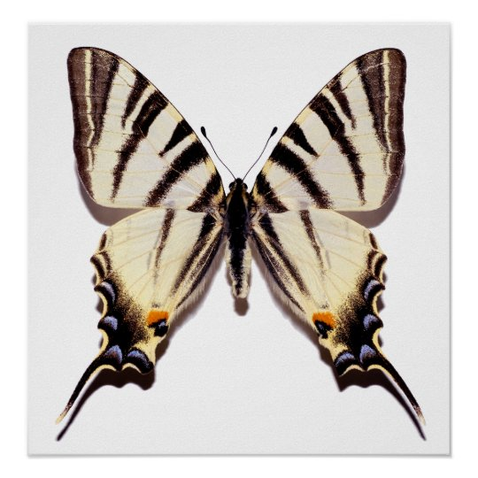 Isolated Scarce Swallowtail butterfly Poster