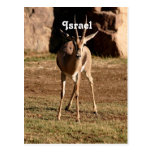 Israeli Gazelle Postcard