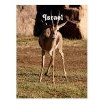 Israeli Gazelle Postcards