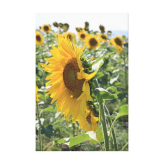 Italian Sunflower Stretched Canvas Prints