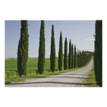 Italy, Tuscany. Cypress trees line driveway to Posters