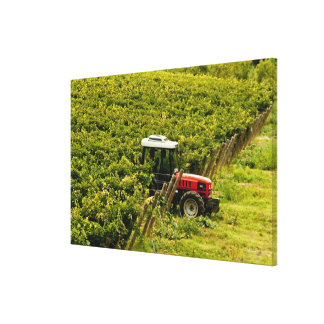Italy, Tuscany, Greve. Pickers at work during Gallery Wrap Canvas