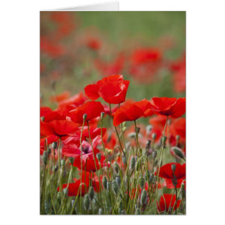 Italy, Tuscany, Mass of Summer Poppies in Card