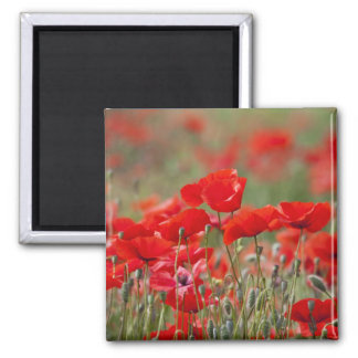 Italy, Tuscany, Mass of Summer Poppies in Magnet