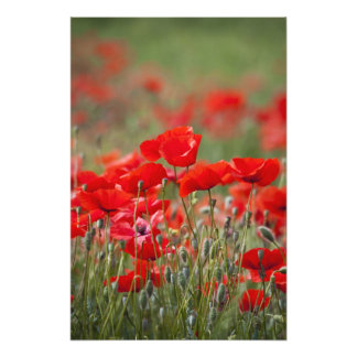 Italy, Tuscany, Mass of Summer Poppies in Photo Print