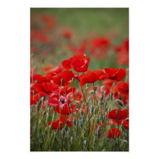 Italy, Tuscany, Mass of Summer Poppies in Poster