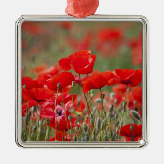 Italy, Tuscany, Mass of Summer Poppies in Silver-Colored Square Decoration