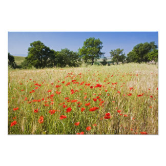 Italy, Tuscany, Meadow with Summer Poppies and Photo Print