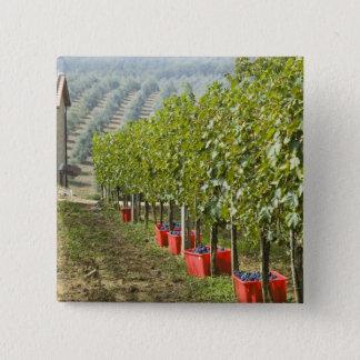Italy, Tuscany, Montalcino. Bins of harvested 15 Cm Square Badge