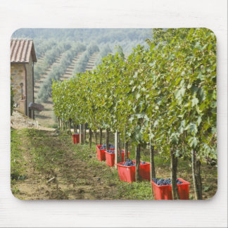 Italy, Tuscany, Montalcino. Bins of harvested Mouse Mat