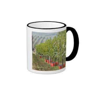 Italy, Tuscany, Montalcino. Bins of harvested Mugs