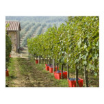 Italy, Tuscany, Montalcino. Bins of harvested Postcard