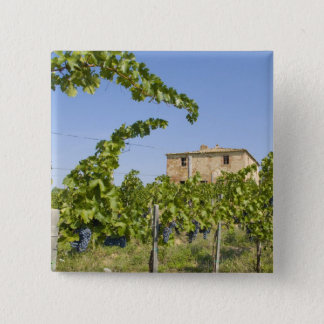 Italy, Tuscany, Montepulciano. Wine grapes ready 15 Cm Square Badge