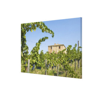 Italy, Tuscany, Montepulciano. Wine grapes ready Gallery Wrapped Canvas