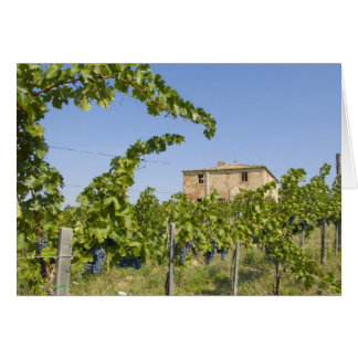 Italy, Tuscany, Montepulciano. Wine grapes ready Greeting Card