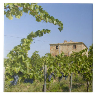Italy, Tuscany, Montepulciano. Wine grapes ready Large Square Tile