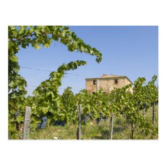 Italy, Tuscany, Montepulciano. Wine grapes ready Postcard