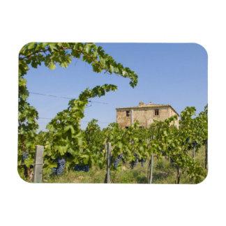 Italy, Tuscany, Montepulciano. Wine grapes ready Rectangular Photo Magnet