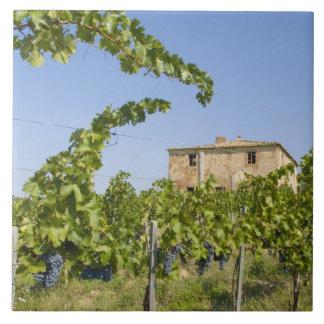 Italy, Tuscany, Montepulciano. Wine grapes ready Tile