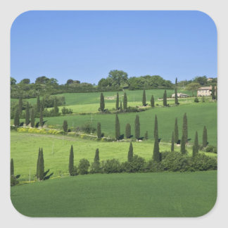 Italy, Tuscany, Multepulciano. Cypress trees Square Sticker