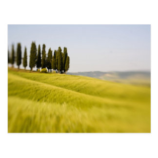 Italy Tuscany, Selective Focus Cypress Trees Postcard