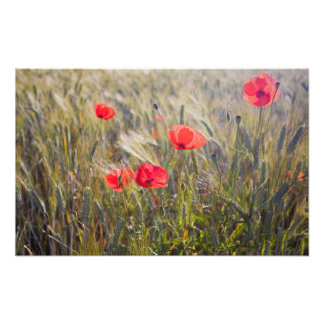 Italy, Tuscany, Summer Poppies and Wheat in Photo Print