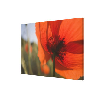 Italy, Tuscany, Summer Poppies in Tuscany Widw 2 Canvas Print