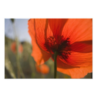 Italy, Tuscany, Summer Poppies in Tuscany Widw 2 Photo Print