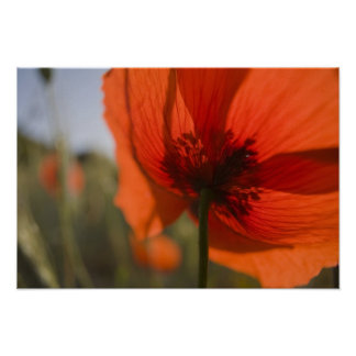 Italy, Tuscany, Summer Poppies in Tuscany Widw 2 Poster