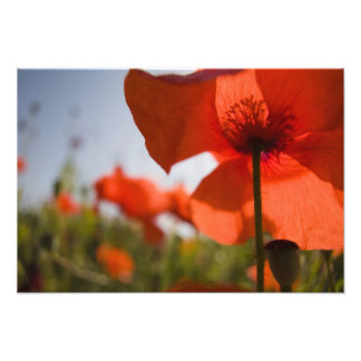 Italy, Tuscany, Summer Poppies in Tuscany Widw 3 Photo Print
