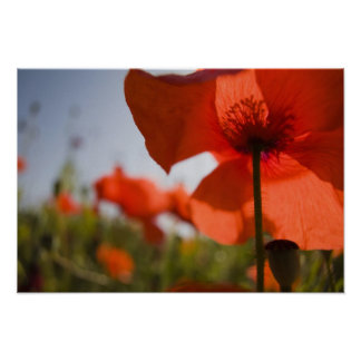 Italy, Tuscany, Summer Poppies in Tuscany Widw 3 Poster