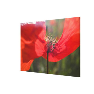 Italy, Tuscany, Summer Poppies in Tuscany Widw Canvas Print