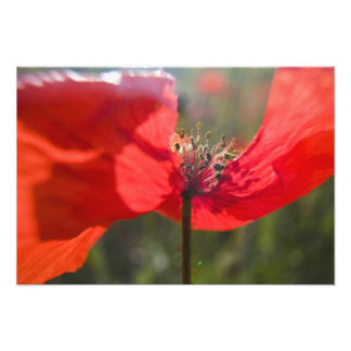 Italy, Tuscany, Summer Poppies in Tuscany Widw Photo Print