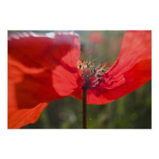 Italy, Tuscany, Summer Poppies in Tuscany Widw Poster