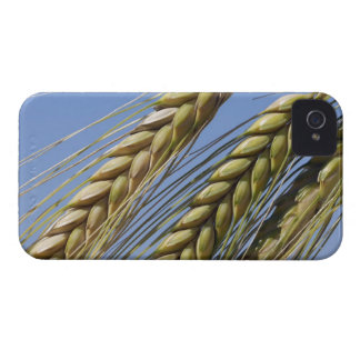 Italy, Tuscany, Val d'Orcia, Three ears of iPhone 4 Case-Mate Case